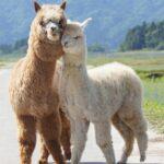 alpaca-loca-alpacas